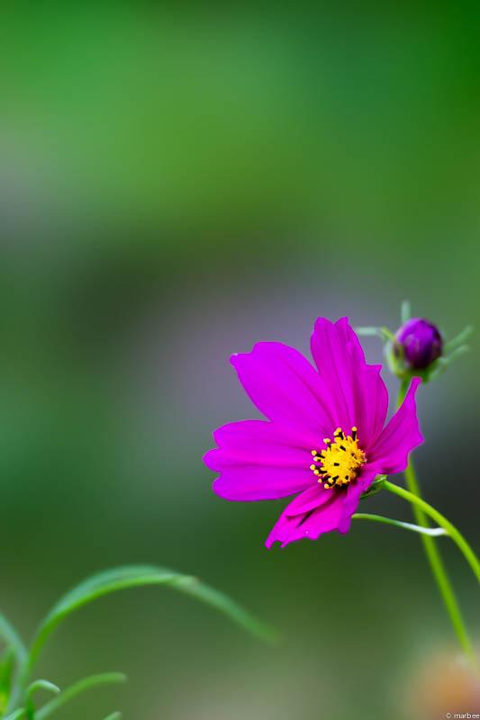 コスモス 紫