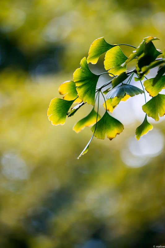 色づき始めた銀杏の葉