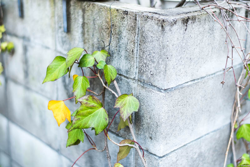 壁を這う蔦