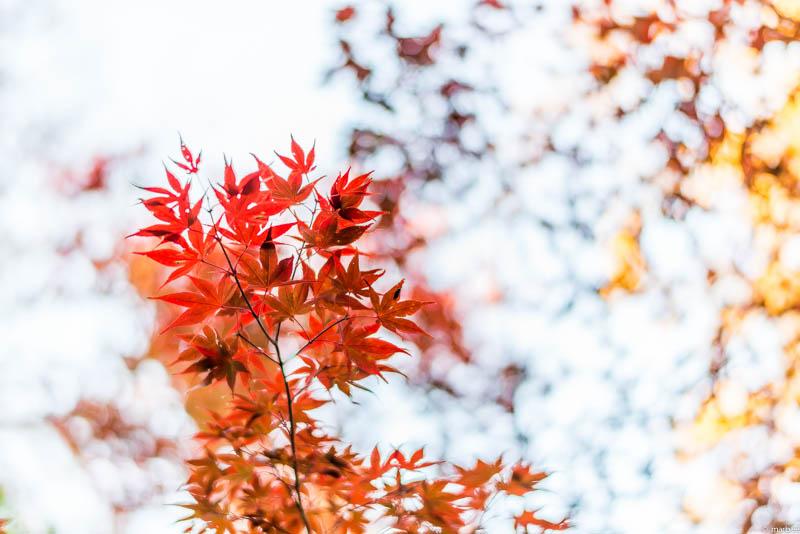 根津神社 紅葉
