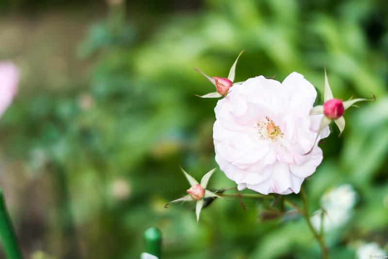 ブラフ18番館 薔薇