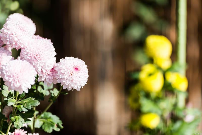 丸い菊 淡いピンク色
