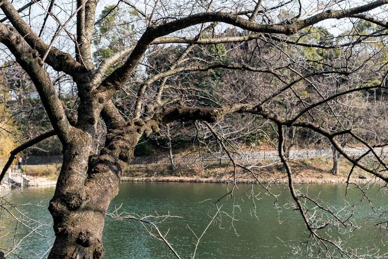 咲く前の染井吉野