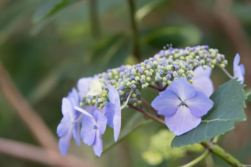 額紫陽花 ライトブルー
