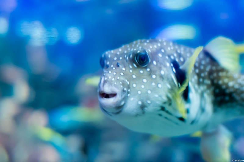 江ノ島水族館のフグ