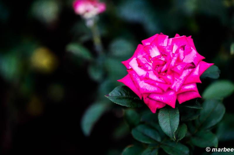薔薇 グランデ アモーレ
