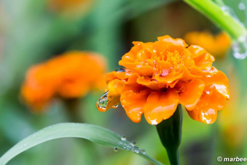 朝露 オレンジ色の花がしっとり濡れています