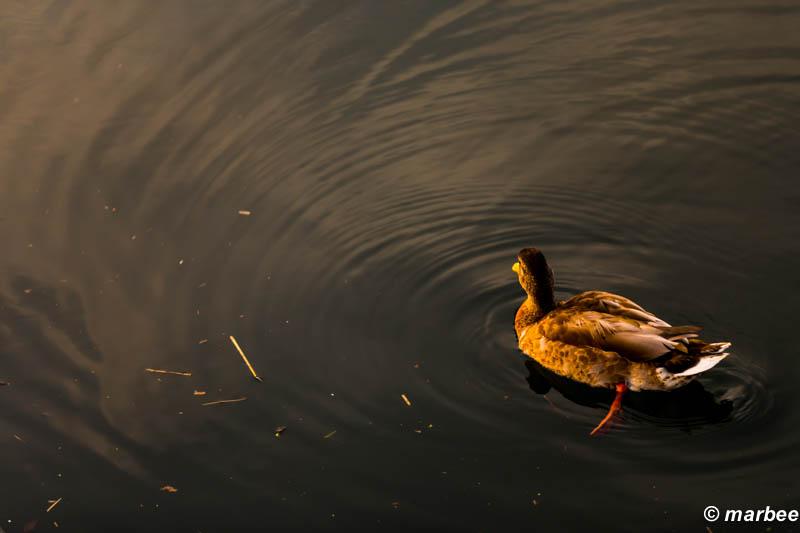 朝カモ? 鴨も一緒に朝日を見ていた