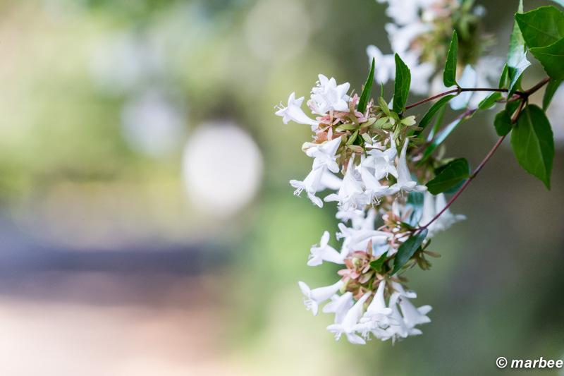 清水イボタ 白くて小さな花 群生している