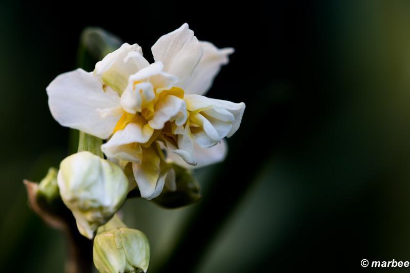 八重桜のような水仙 初めて見た