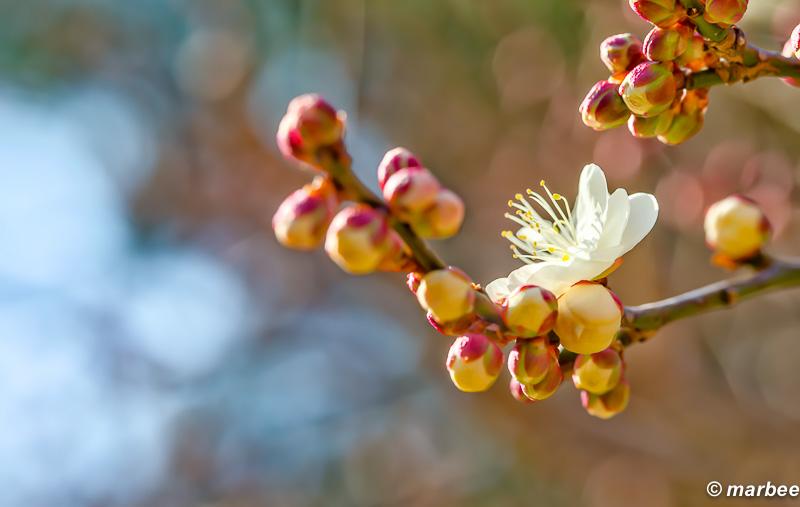 梅の花 まだ一分咲 春の息吹を感じるね