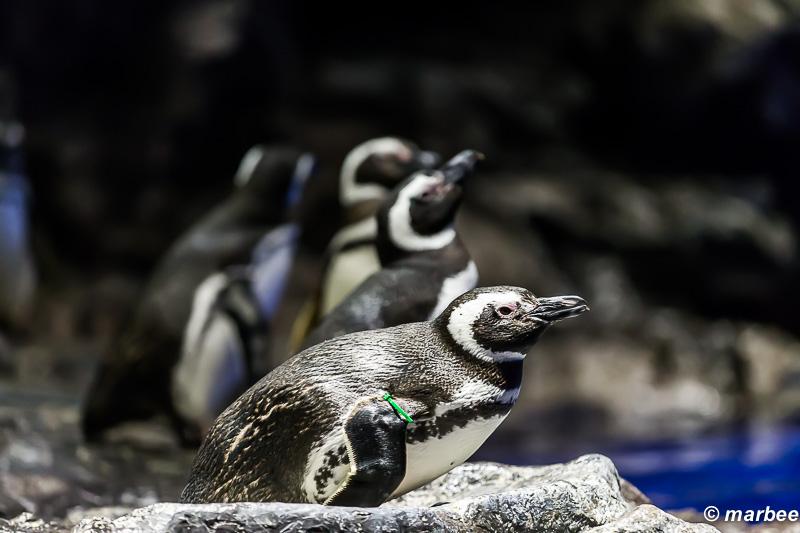 墨田水族館のペンギン