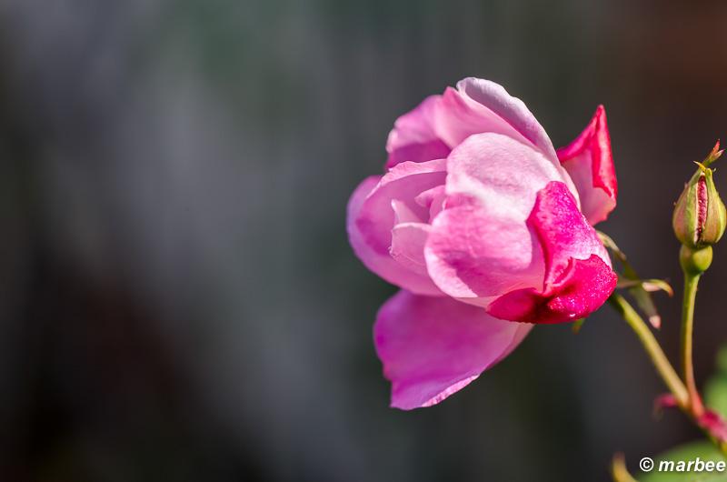 薔薇 ピンク色 多くの季節で楽しめる花