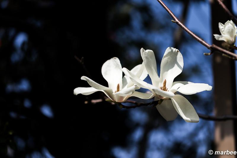 木蓮 桜より少し先に咲く。桜もうすぐだぁ!!