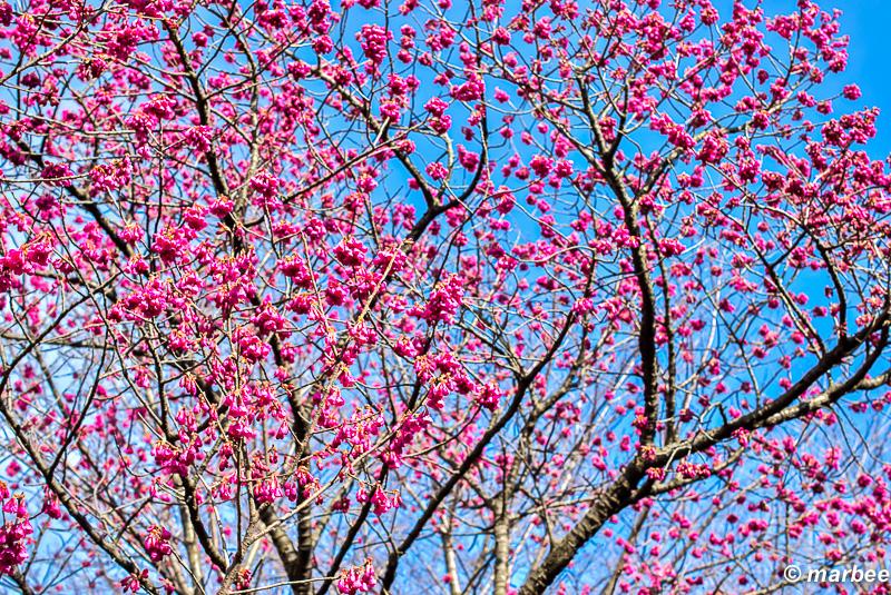 緋寒桜 もうすぐ桜のシーズンが始まる合図