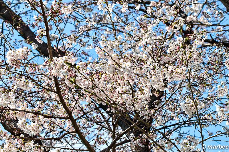 桜 五分咲きの染井吉野 満開まで天候大丈夫?