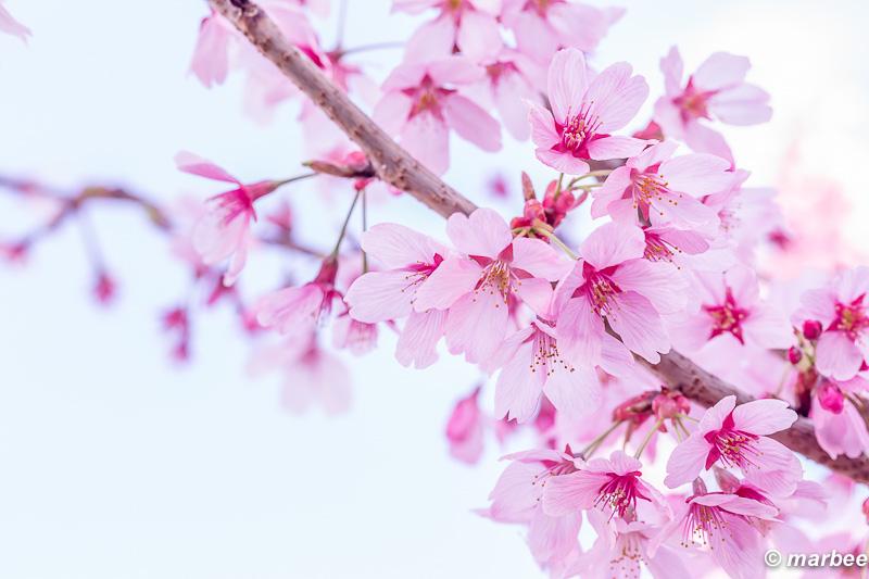 染井吉野 ほんのりピンク 春色