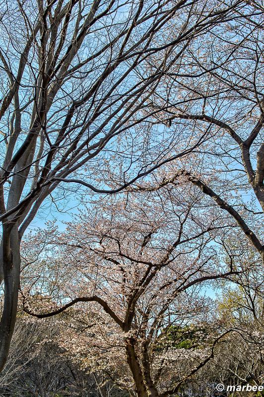 ベストコンディションの桜を撮るのは難しい