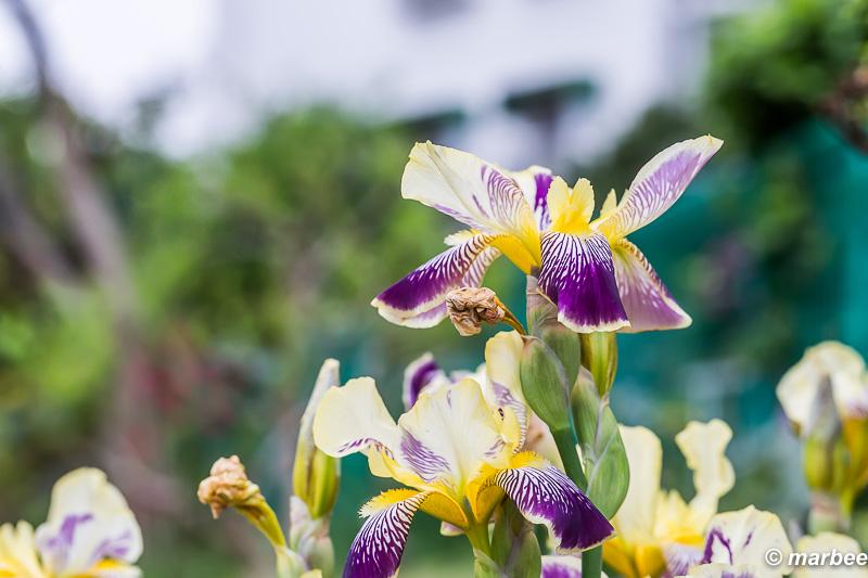 鳶尾 黄色 他の色より遅く咲いた 日当たり?