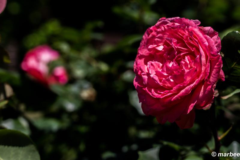 赤い薔薇 色々な季節に咲くから楽しめる