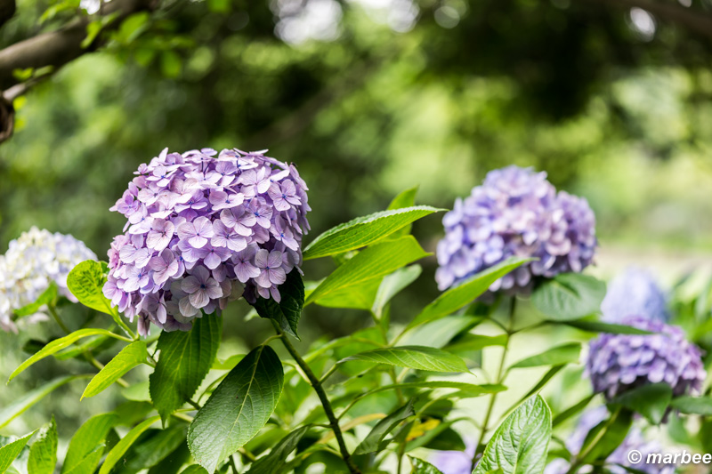 紫陽花 シーズンオフになる前に写真出さないと