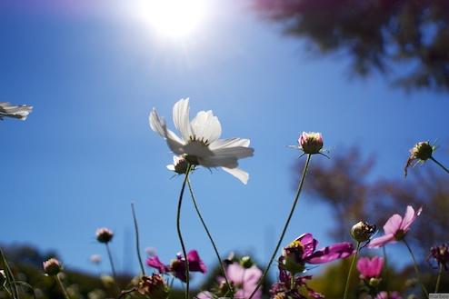 白いコスモスと太陽