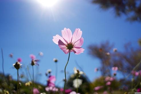 ピンク色のコスモスと太陽