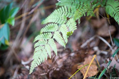 シダ類の植物