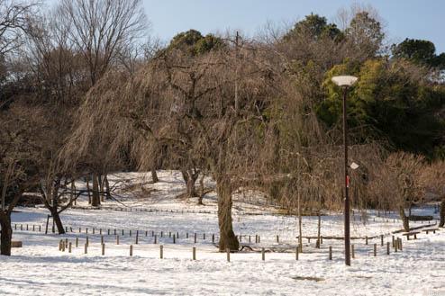 冬の紅枝垂れ