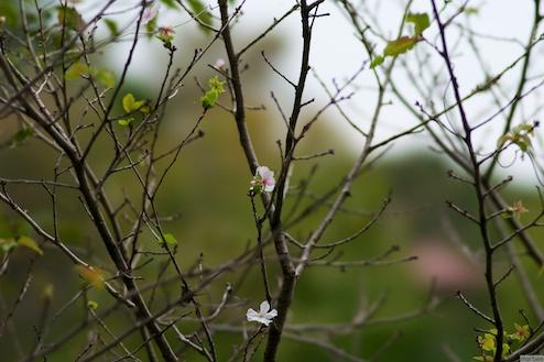 10月桜?
