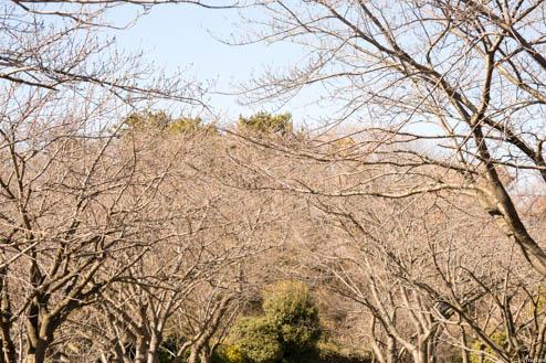 枯れた桜のトンネル