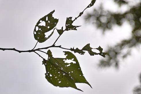 虫に食べられた葉桜