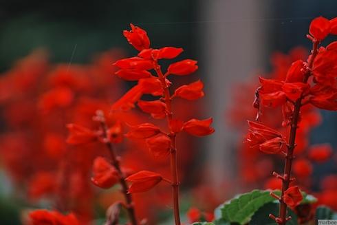 赤いサルビア