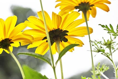 黄色い花。妖精の視点