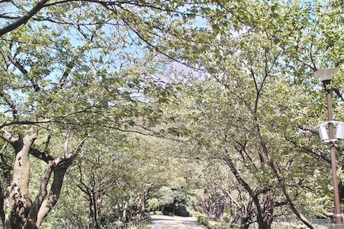 葉桜のトンネル