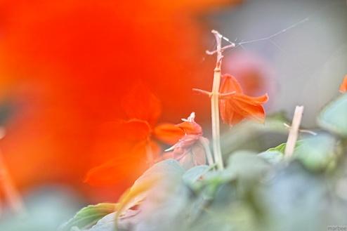 赤い花(前ボケ)