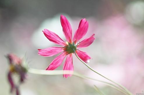 ピンク色のコスモス(クリーミーボケ)