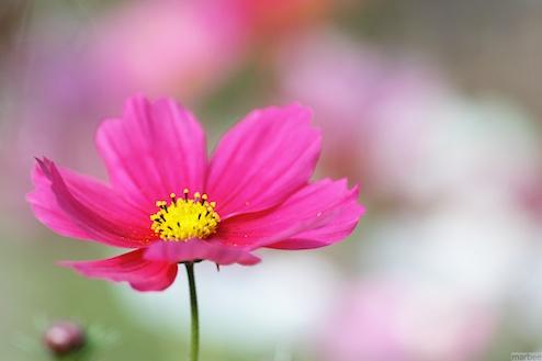 ピンク色のコスモス(パステルカラーボケ)