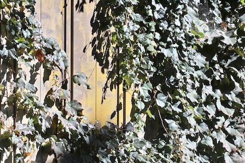 蔦に覆われた壁