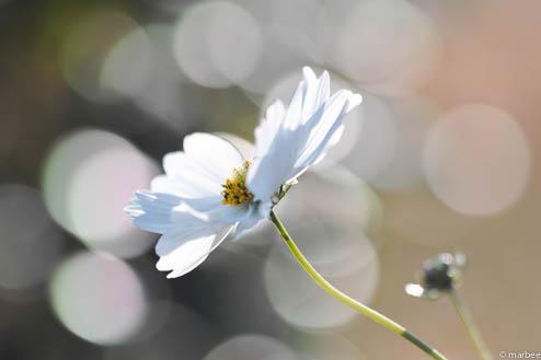 白いコスモス(Simpleボケ)