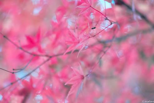 紅葉(なぜかピンク色)