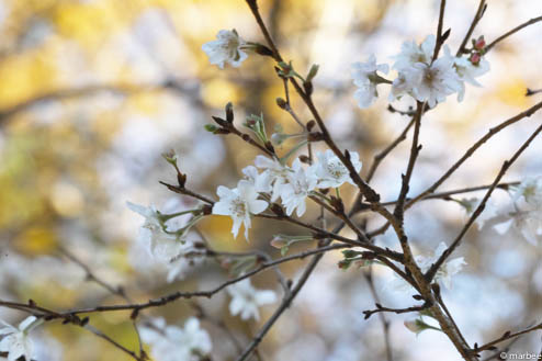 寒桜(秋ボケ)